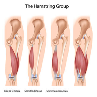 your hamstring group